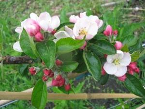 blossom_300